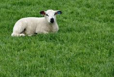 Lamb. In field, lost of room for copy Stock Photo