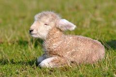 Lamb 1 Day Old Royalty Free Stock Image