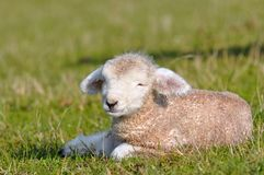 Lamb 1 day old Stock Image
