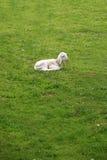 The lamb. Sleeping lamb at the green, grass field Royalty Free Stock Image