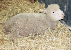 lamb Arkivfoton