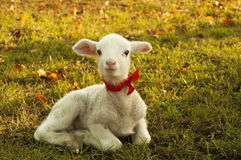 Lamb. Cute little lamb playing and resting on valley Royalty Free Stock Images