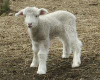 Lamb Royalty Free Stock Images