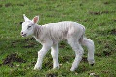 Free Lamb Stock Photos - 13559743