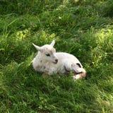 Lamb Stock Image