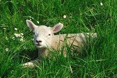 Lamb. Dutch lamb on a field in the summer Stock Images