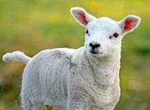 Lamb. Cute looking lamb looking up royalty free stock photo