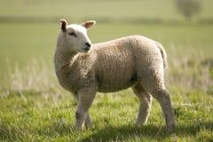 Lamb #2 Stock Photos
