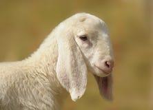 lamb Arkivbilder