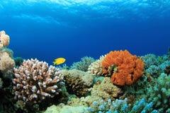 σκηνή κοραλλιογενών υφά&lamb Στοκ εικόνες με δικαίωμα ελεύθερης χρήσης