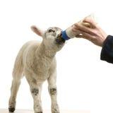 lamb Fotografia Stock