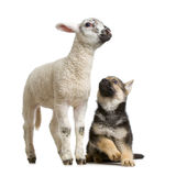 Lamb. Standing up, isolated on a white background Stock Images
