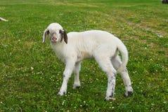 lamb Royaltyfria Bilder
