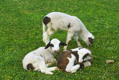 lamb Royaltyfria Foton