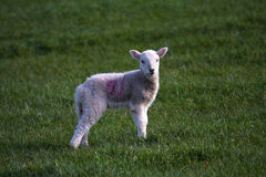 Lamb. New born Lambs in a field with their mothers North Wales UK Stock Photography