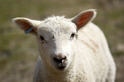 Lamb. A young lamb in a field in  spring Royalty Free Stock Photo
