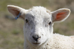 Lamb. A young lamb in a field in  spring Royalty Free Stock Image