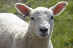 Lamb. A young lamb in a field in  spring Stock Images