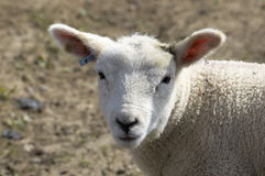 Lamb. A young lamb in a field in  spring Royalty Free Stock Images