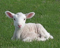 Free Lamb Royalty Free Stock Photography - 2406607