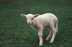 lamb fotografia royalty free