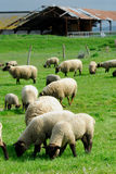 Lamb. Farming a Lamb eating grass Stock Photography
