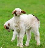 Lamb. A little lamb at the call mother. May 23, 2012 shooting in shaanxi province in China Stock Photos