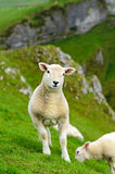 Lamb Royalty Free Stock Photos