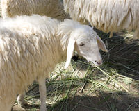 Lamb. White Lamb Eat Grass in Cookies Lighting royalty free stock photo