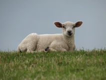 Lamb. On a dike in summer Royalty Free Stock Images