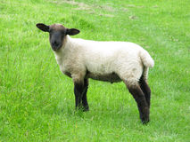 Lamb. Young lamb in country field Stock Images