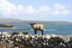 Lamb Stock Photos