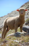 lamb 3 little Arkivbild