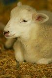 lamb Arkivbild