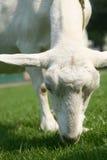 lamb zdjęcia stock