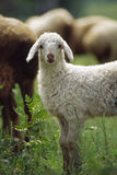 lamb Royaltyfri Foto