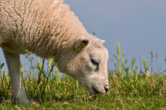 Lamb. Little lam grazing on the dutch dikes that are meant to keep the land from flooding Royalty Free Stock Photography