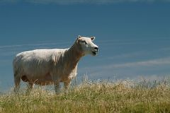 Lamb. Sheep on the island sylt, germany Stock Photos