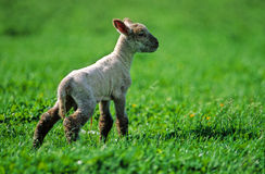 Lamb. Young lamb few hours in a meadow Stock Photography