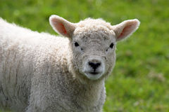 Lamb. Looking at camera close Stock Photos