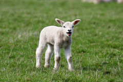 Lamb. Looking at camera with mouth open Stock Photos