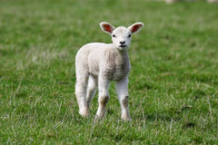 Lamb. Standing up looking at camera Royalty Free Stock Image
