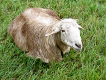 Lamb. Photo of the cute lamb on the grass Royalty Free Stock Photos