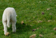 Lamb. Little lamb grazing in the grass Stock Photography