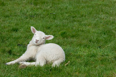 Lamb. Little lamb on the grass Stock Photography