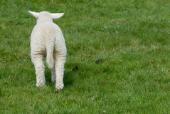 Lamb. Little lamb on the grass from behind Royalty Free Stock Photography