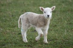 Lamb. A Cute lamb in the English Countryside Stock Images