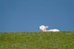 Lamb. / north sea coast of st. peter-ording / germany Stock Image