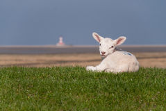 Lamb. / north sea coast of st. peter-ording / germany Stock Images