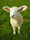 Lamb. Spring lamb standing in a field looking up at the camera Stock Image
